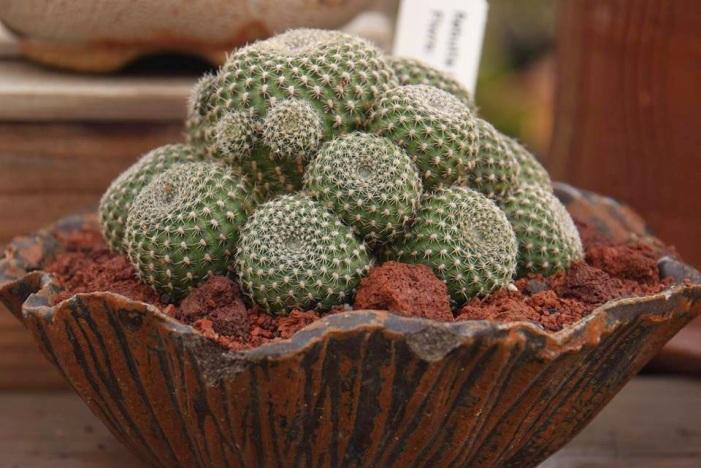 Cactus Center - Pedra Vulcânica